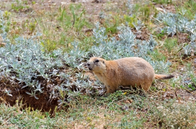 Prairie Dog Field below Devils Tower in Wyoming - August, 2017