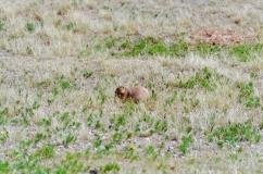 Prairie Dog Field below Devils Tower in Wyoming - August, 2017