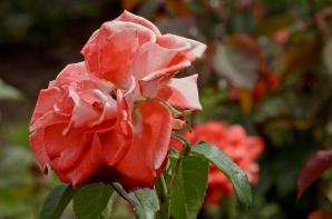 International Rose Test Garden. Portland, Oregon - August, 2017