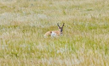 Antelope having a siesta.