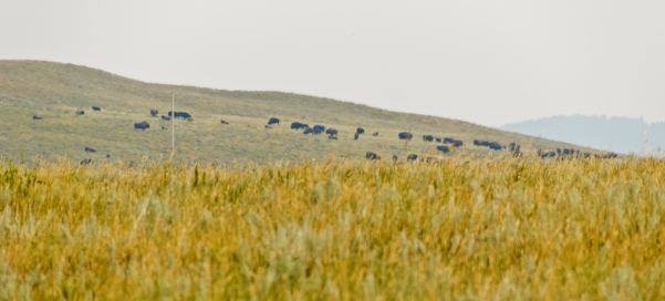 Herd of bison in the distance.