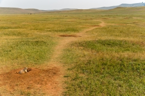 You can see how the prairie dogs have worn paths in the grass between their holes.