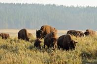 Hayden Valley, Yellowstone National Park - August, 2017