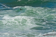 California: 17-Mile Drive: A seal riding the waves.
