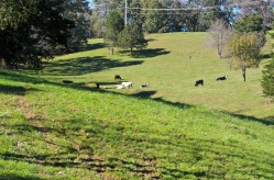 The cows in the farm next door to our farmhouse rental.