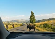 Roadside bison encounter.