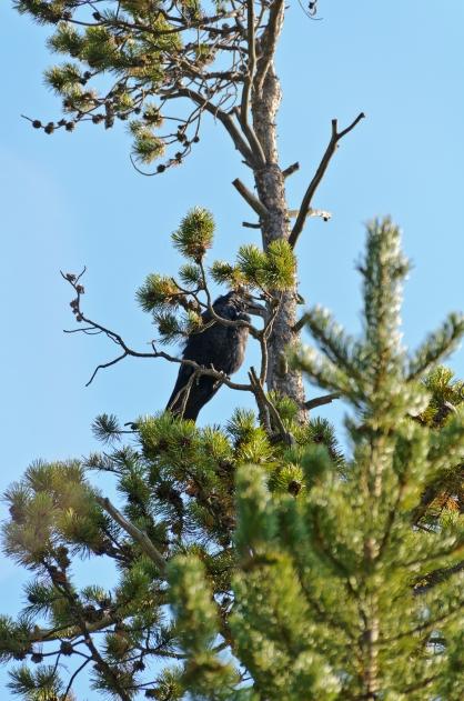 Large bird in tree near Norris Geyser Basin.