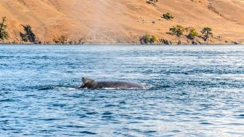 Whale Watching Cruise: Humpback Whale