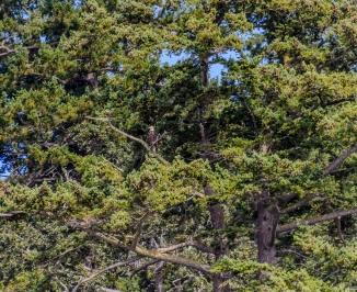 Whale Watching Cruise: Bald Eagle in Tree