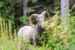 Ram on the Grinell Glacier Trail