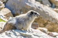 Marmot on the Highline Trail